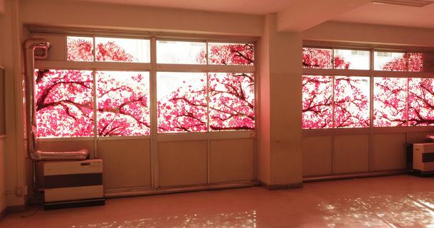You'll Get Shivers Once You Discover The Truth Behind These Sweet Cherry Blossoms
